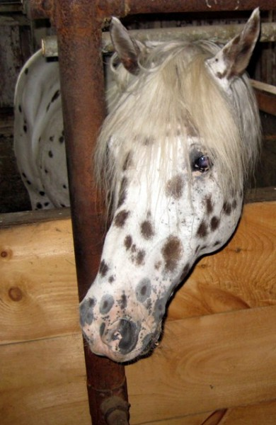 Specks the horse at Hill Farm Inn