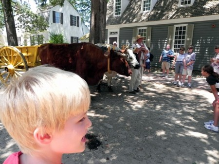 Oxen in the street of Colonial Williamsburg