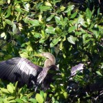 Anhinga at the Ding Darling Wildlife Refuge