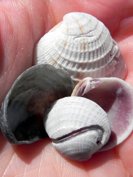 Shells from Sanibel Island