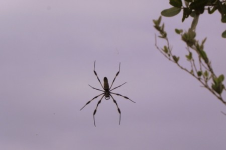 Spider in the mangrove forest