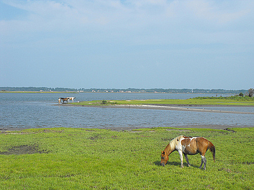 Eastern Shore Spring Break - Chincoteague ponies grazing