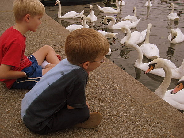 Feeding the swans in Windsor