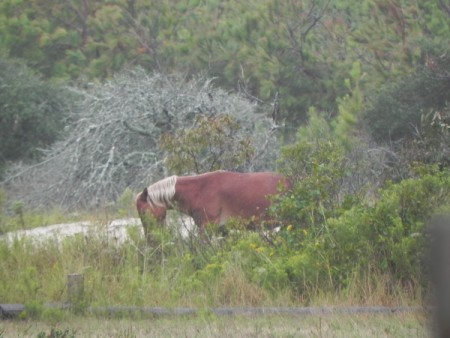 Currituck wild horse doing what it does best - grazing