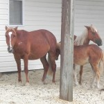 Visiting the wild horses of Currituck
