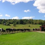 Cows at Couture's Bed and Breakfast, Northeast Kingdom, Vermont