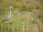 Great blue herons are common in the Chincoteague National Wildlife Refuge