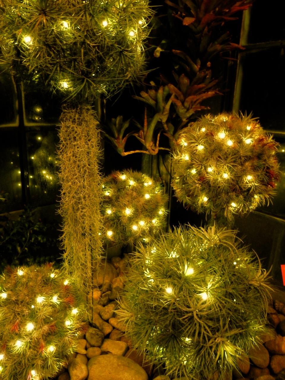 christmas tree cactus garden - photo #14