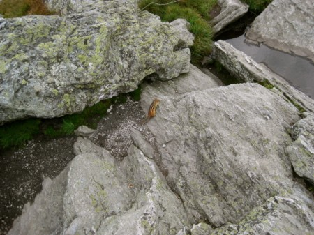 This chipmunk liked to tease the ranger at the top of Camel's Hump