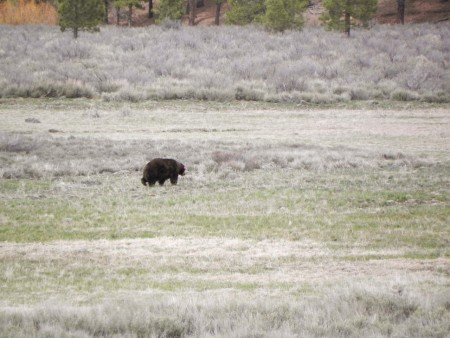 This bear was snuffling around in a meadow near Northstar California Ski Resort
