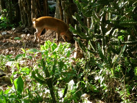 Pig rooting in Niva, Haiti