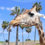 San Diego with kids: Up close with animals at the San Diego Zoo Safari Park